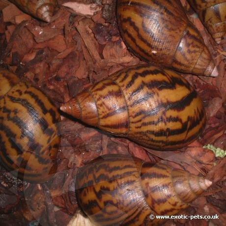 Giant Tiger Land Snail