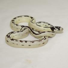Californian King Snake (Lampropeltis getula californiae)