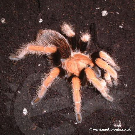 Mexican Blood Leg Tarantula