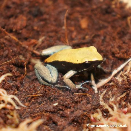 Blue Leg Mantella