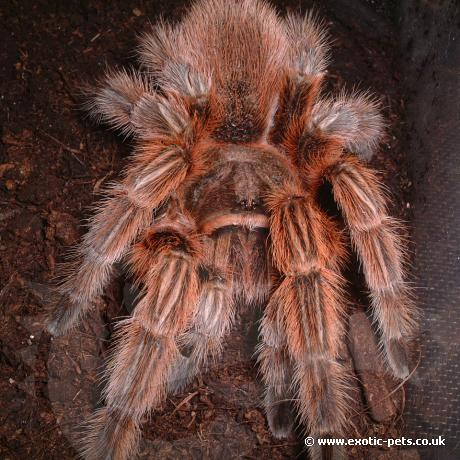 Red Phase Chile Rose Tarantula