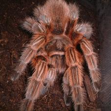 Chile Red Rose Tarantula (Grammostola rosea)