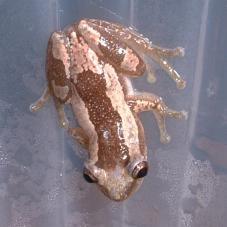 Striped Spiny Reed Frog (Afrixalus dorsalis)
