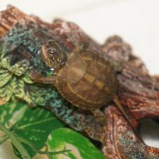 Reeves Turtle (Chinemys reevesii)