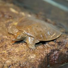 Florida Soft Shell Turtle (Apalone ferox)