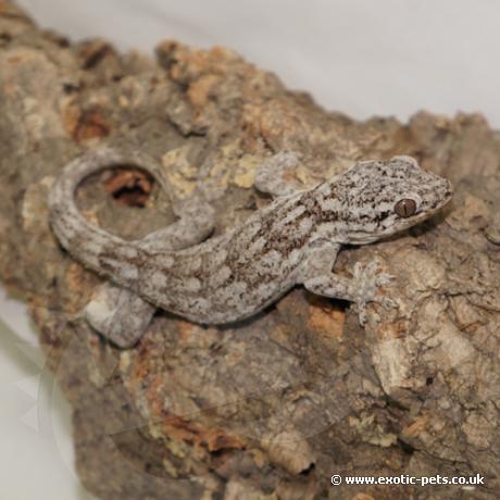 Giant Madagascan Velvet Gecko