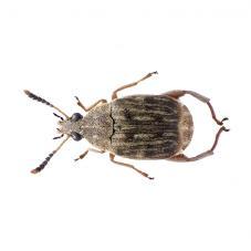 Bean Weevil Cultures (Callosobruchus maculatus)