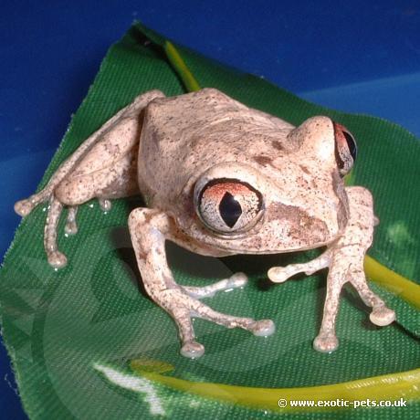 African Big Eyed Tree Frog