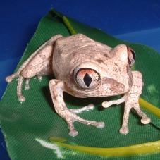 African Big Eyed Tree Frog