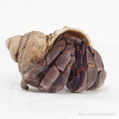 Viola Hermit Crabs