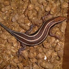 Five Lined Skink (Mabuya quinquetaeniata)