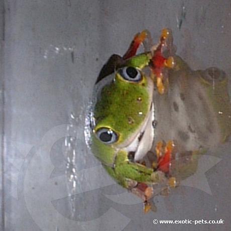 Ghana Reed Frog