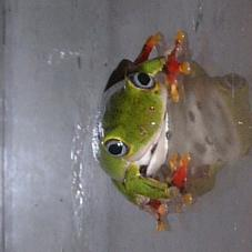 Ghana Reed Frog (Hyperolius fusciventris)