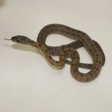 Bairds Rat Snake (Elaphe bairdi)