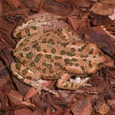 Egyptian Green Toad (Bufo viridis)