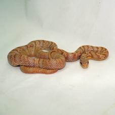 Korean Rat Snake (Elaphe Anomala)