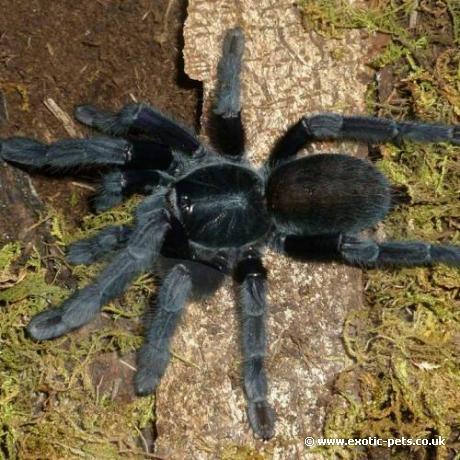 Borneo Black