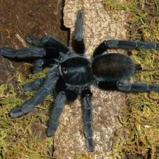 Borneo Black (Lampropelma sp.
