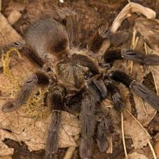 Costa Rican Orange Mouth Tarantula (Psalmopoeus reduncus)