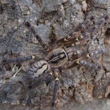Fringed Ornamental (Poecilotheria ornata)