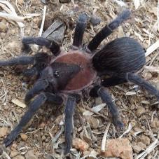 Black Emilia (Crypsidromus sp. Panama)