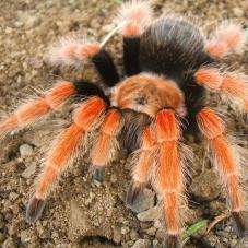 Mexican Fireleg Tarantula (Brachypelma bohemi)