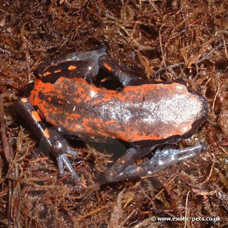 West African Rubber Frog