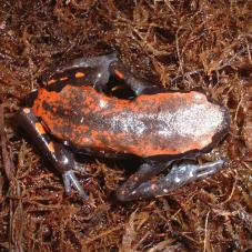 West African Rubber Frog (Phrynomantis microps)