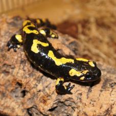 Fire Salamander (Various)