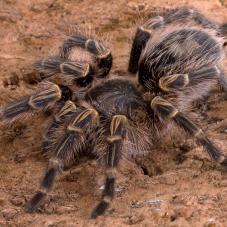 Chaco Golden Knee Tarantula (Grammostola pulchripes)