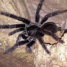 Sangihe Island Black Tarantula (Lampropelma nigerrimum)