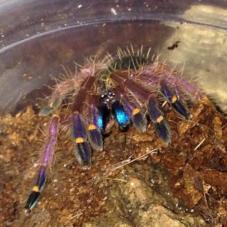 Blue Fang Tarantula (Ephebopus cyanognathus)