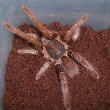 Rusty Red Baboon Tarantula
