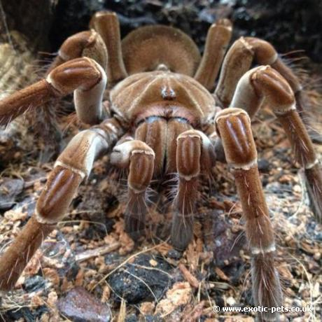 Guyana Goliath Birdeater