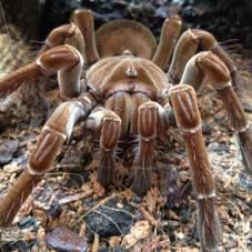 Guyana Goliath Birdeater (Theraphosa stirmi)