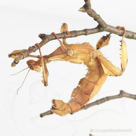 Macleays Spectre Stick Insect