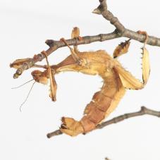 Macleays Spectre Stick Insect (Extatosoma tiaratum)