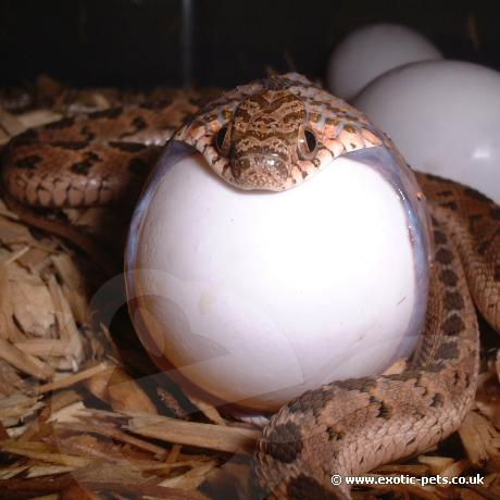 Egg Eating Snake