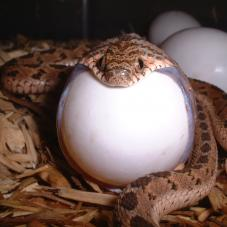 Egg Eating Snake (Dasypeltis fasciata, medici and scabra)