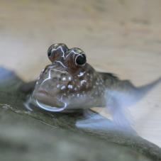 Mud Skipper (Periophthalmus barbarus)