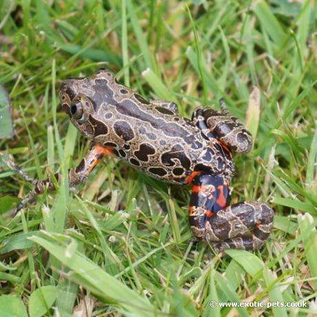 Giant Red Legged Running Frog
