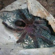 Amazon Sapphire Pink Toe (Avicularia diversipes)