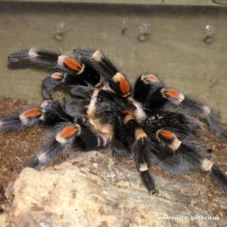 Mexican Flame Knee Tarantula