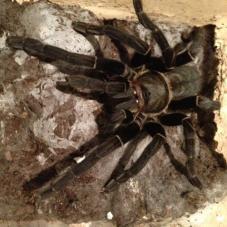 Thailand Black Tarantula