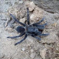 Black Satan Tarantula (Chilobrachys sp.