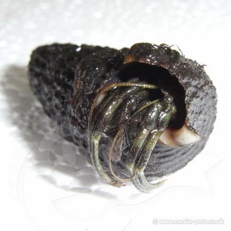 Nigerian Hermit Crab