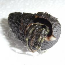 Nigerian Hermit Crab (Unkown species)