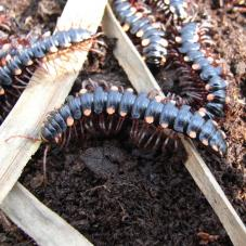Red Spotted Flat Millipede (Polydesmus species)