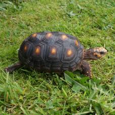 Red Foot Tortoise (Geochelone carbonaria)