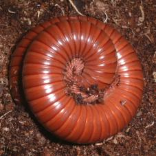 Chocolate Millipedes (Unknown species)
